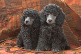 Miniature Poodles Photographic Print