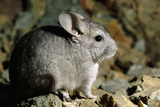 Long-Tailed Chinchilla Young Photographic Print by Andrey Zvoznikov