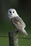 Barn Owl Sitting on Post Photographic Print