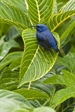Purple Honeycreeper on Large Green Leaf Photographic Print