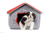 Cavalier King Charles Spaniels in Bed House Photographic Print