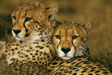 Cheetah Pair Fotografisk tryk