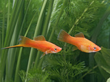 Red Swordtail Pair Side View Photographic Print