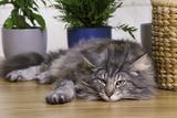 Norwegian Cat Silver Tabby Mackerel and White Photographic Print