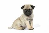 Pug (Fawn) 7 Week Old Puppy Fotografisk tryk