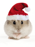 Hamster Wearing Christmas Hat Photographic Print