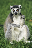 Ring-Tailed Lemur Portrait, Sitting on Grass Photographic Print