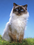 Ragdoll Seal Point Photographic Print