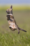 Red Fox Cub Jumping in Meadow Photographic Print