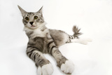 Norwegian and Silver Tabby Cat Mackerel and White Photographic Print