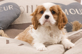 Cavalier King Charles Spaniel Puppy Lying on Cushions Photographic Print