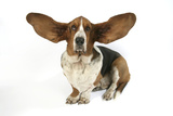 Basset Hound with Ears Up Photographic Print