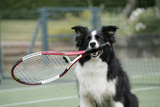 Border Collie Holding Tennis Racket Photographic Print