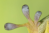Giant Day Gecko Foot Magnified to Show Suction Photographic Print