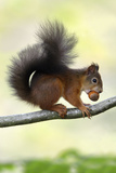 Red Squirrel with Hazel Nut in Mouth on Branch Photographic Print