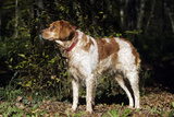 Brittany Spaniel with Bell around Neck Photographic Print