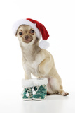 Chihuahua Wearing Christmas Hat and Knitted Boots Photographic Print
