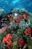 Coral Wall Komodo Marine Park Is World Famous Lámina fotográfica