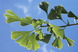 Ginkgo Close-Up of Leaves Photographic Print