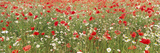 Common Poppies and Scentless Mayweed in Meadow Photographic Print