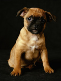 Puggle Dog a Crossbreed Between a Beagle and a Pug Photographic Print
