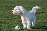 Bichon Maltaise- Playing with Football Fotografisk trykk