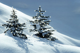 Norway Spruce Tree Young Trees in Snow, Winter Photographic Print