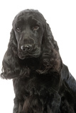 English Cocker Spaniel 20 Months Old Photographic Print