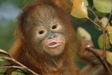 Orang-Utan Close-Up Funny Face Photographic Print