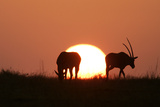 Gemsbok Silhouette at Sunset Photographic Print
