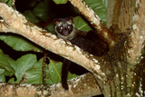 Common Palm Civet in Tree Photographic Print