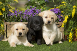 Yellow and Black Labrador Puppies Fotografisk tryk