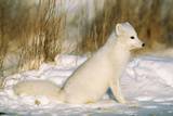 Arctic Fox in Snow Photographic Print