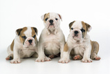 Three Bulldog Puppies, Studio Shot Photographic Print