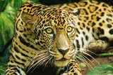 Jaguar Sitting, Looking Alert Photographic Print