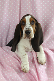 Basset Hound Puppy (10 Weeks) Sitting on Pink Blanket Photographic Print