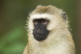 Vervet Monkey Adult Male Portait Photographic Print