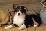 Border Collie Dog Puppy Photographic Print
