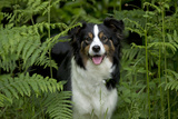 Border Collie Standing in Bracken Photographic Print