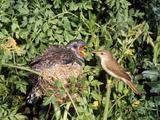 Cuckoo Young in Nest Being Fed by Reed Warbler Reproduction photographique