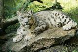 Snow Leopard Fotografisk tryk