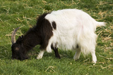 Black and White Bagot Goat Grazing Photographic Print