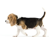 Beagle Puppy Photographic Print