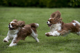 Cavalier King Charles' Running in Garden Photographic Print