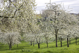 Orchard in Spring Blossom Photographic Print