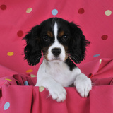 Cavalier King Charles Spaniel Puppy Sitting Photographic Print