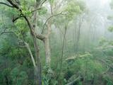 Rainforest Eucalyptus and Angophora Floribunda Papier Photo
