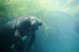 South American Manatee Eating Aquatic Grass Photographic Print