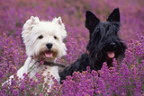 West Highland White Terrier and Scottish Terrier Photographic Print