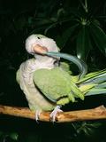 Quaker Parrot Preening Photographic Print